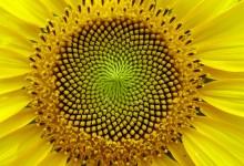 Fibonacijevi brojevi i Paskalov trougao    Suncokret-220x150