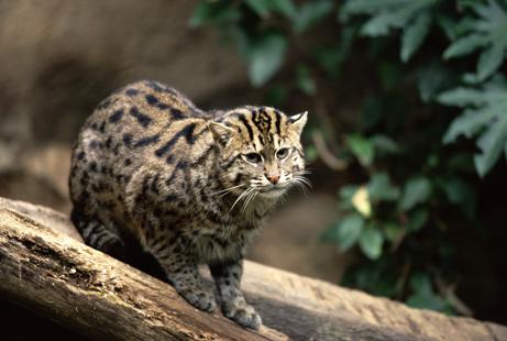 Gato Pescador (Prionailurus viverrinus) 06_gato