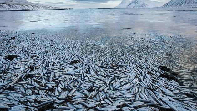 Millones de peces aparecen muertos en un fiordo islandés por causas desconocidas 7735bb00ee21db511cd8694215b57855_article