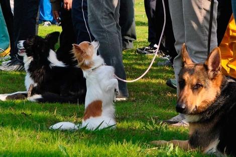 Nuevo perro policía de Japón: el chihuahua 1290182343_0