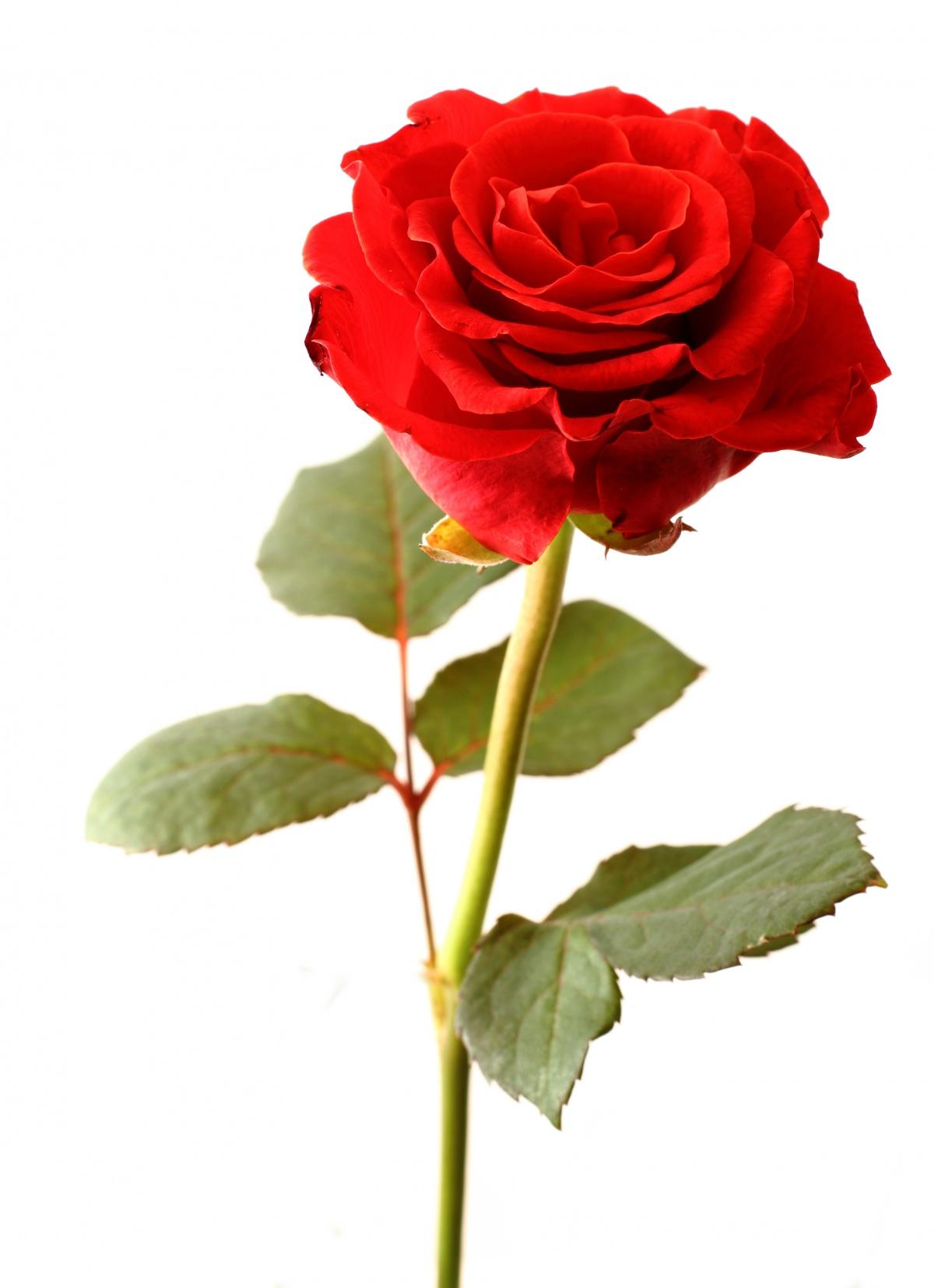 Regalame una flor.  - Página 15 Rosaroja