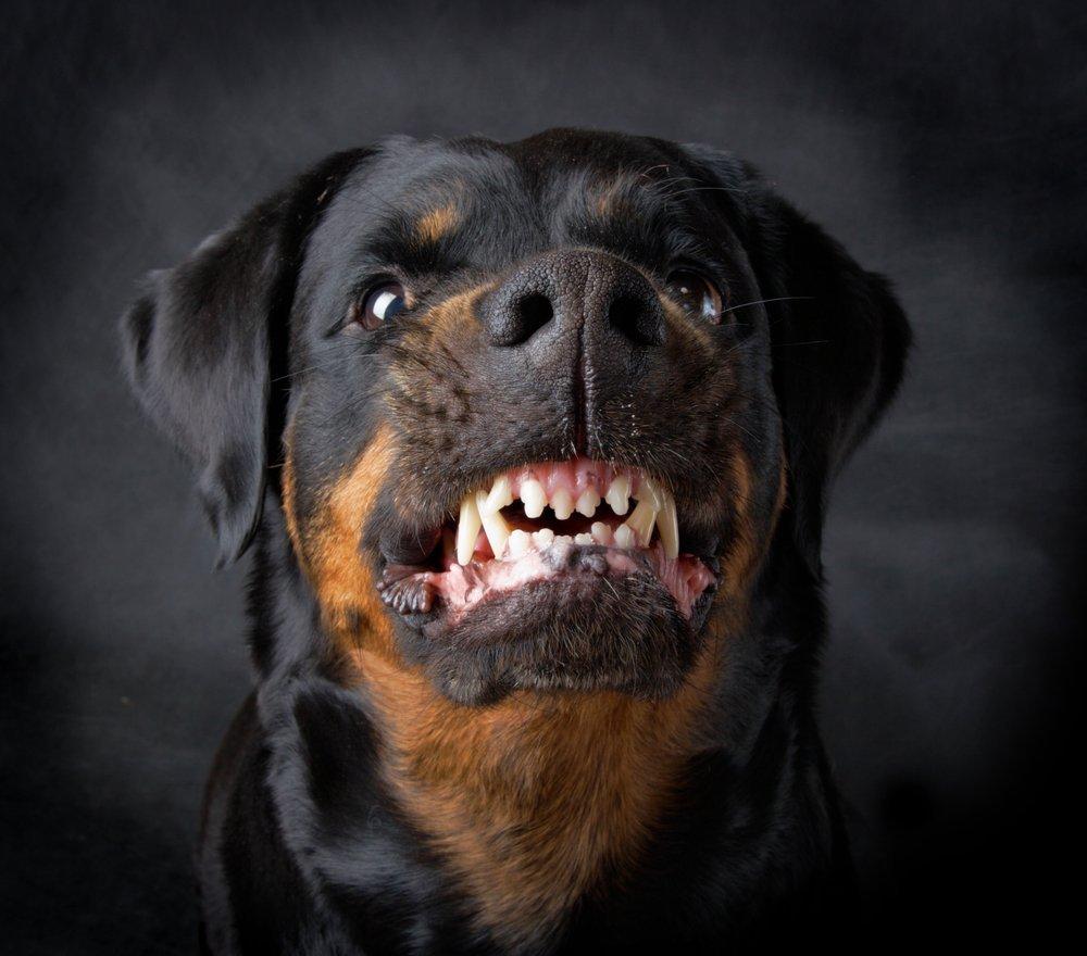Bienvenidos al nuevo foro de apoyo a Noe #299 / 02.12.15 ~ 08.12.15 - Página 39 Rottweiler-rosnando-agressivo-agressividade-em-caes-comportamento-canino-animal-ethos-psicologia-canina-animal-helena-truksa