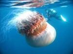 Des méduses géantes au Japon 1607863317