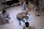 Lyuba, le bébé mammouth 415205479
