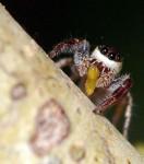 La première araignée végétarienne 1295772995
