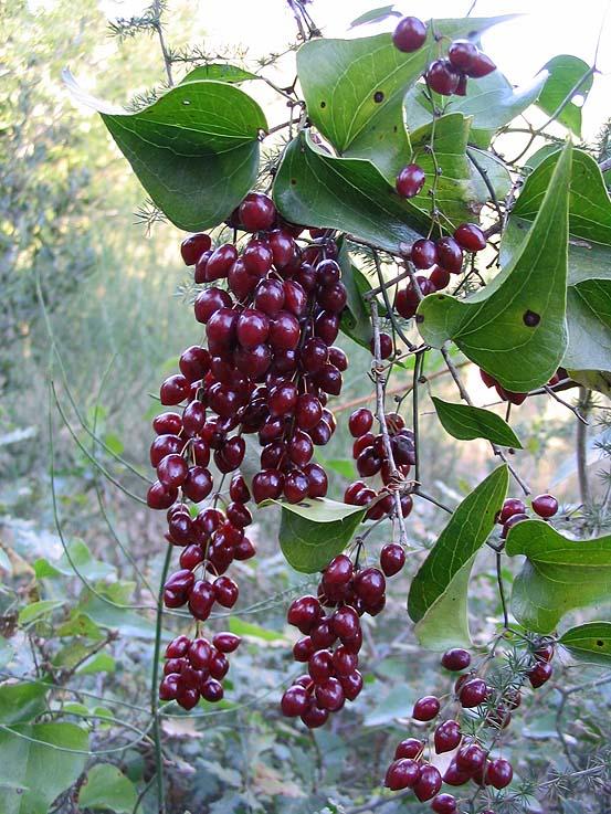 Fleurs,....fruit,.....tout ce qui se mange,...se boit....ou qui vient de la nature.......... - Page 4 Salsepareille2