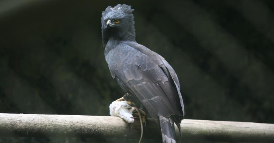 Falconiformes. Família  Acciptridae - Subfamília Buteonidade- Gaviões de penacho. genêro SPIZAETUS O-gaviao-pega-macaco-habita-florestas-das-americas-central-e-do-sul-e-e-um-excelente-cacador-na-foto-e-possivel-identificar-uma-pequeno-rato-branco-que-acabou-virando-comida-desta-ave-predatora-1343165190076_956x500