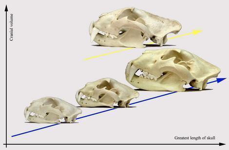 Jaguar venezuelano VS Leopardo macho monstro 090911145030-large