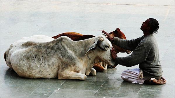 7 سبع كوابيس هندية.....هزت عرش المارخور الباكستاني  - صفحة 6 20120502-Cow_stroker