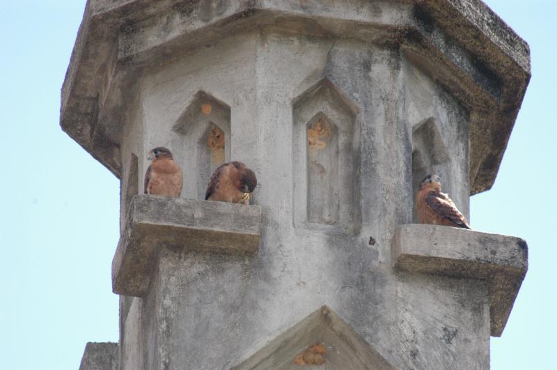 Falconiformes. sub Falconidae - sub fam Falconinae - gênero Falco Seychelles%20Kestrel