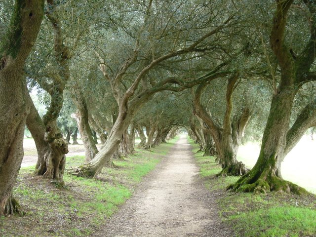 Food for Soul - Page 2 Picfornewslettolive-trees