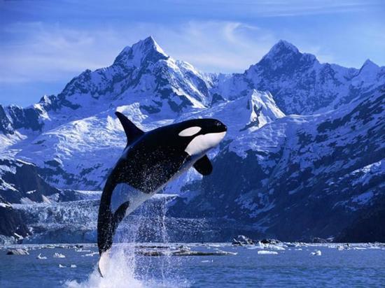Les dauphins et les orques 61ntum5b