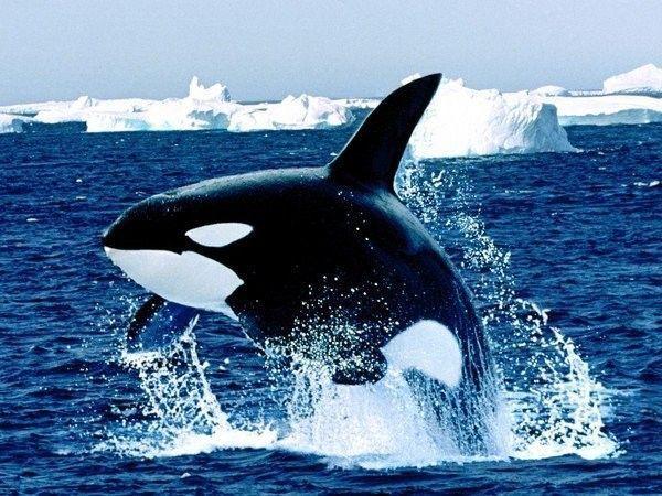 Les dauphins et les orques B64f2147