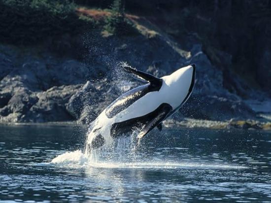 Les dauphins et les orques F47iojre