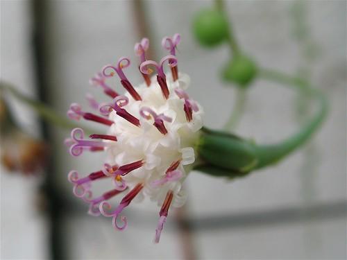Senecio rowleyanus, Haworthia cymbiformis [devinette] 398617256_c08948b176