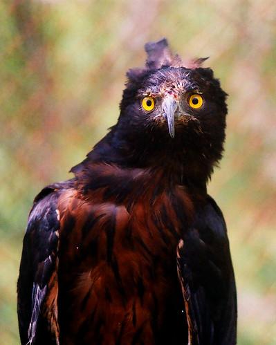 Falconiformes. Família  Acciptridae - Subfamília Buteonidade- Gaviões de penacho. genêro SPIZAETUS 346690546_30984e2f77