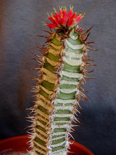 Euphorbia neohumbertii [devinette] 460641787_2a59fb71dd