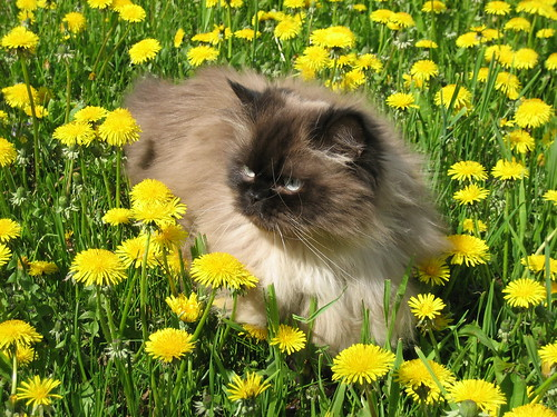 صور قطط جميلة 509660125_7a757f556c