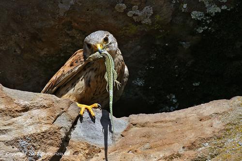Falconiformes. sub Falconidae - sub fam Falconinae - gênero Falco - Página 3 3263625245_99a939d6db