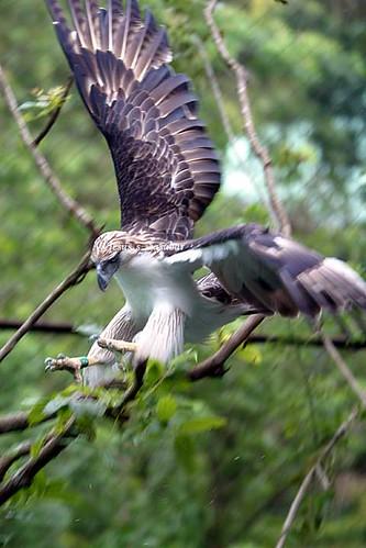 Falconiformes. Família  Acciptridae - Subfamília Buteonidade-Águias coroadas - gênero Pitecophaga jefferyi . Águia das Filipinas. 173318578_0aa0bf51e3