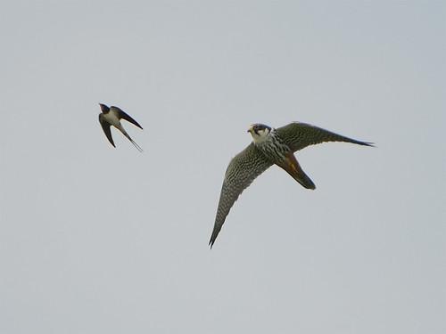 Falconiformes. sub Falconidae - sub fam Falconinae - gênero Falco - Página 3 218357631_507bf55e4b