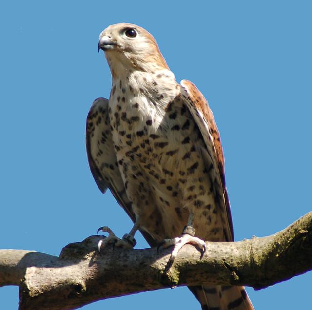 Falconiformes. sub Falconidae - sub fam Falconinae - gênero Falco - Página 2 299444796_8856d05ddb_z