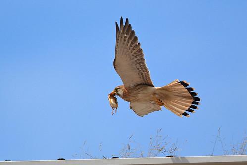 Falconiformes. sub Falconidae - sub fam Falconinae - gênero Falco 5170202025_c574f1b23c