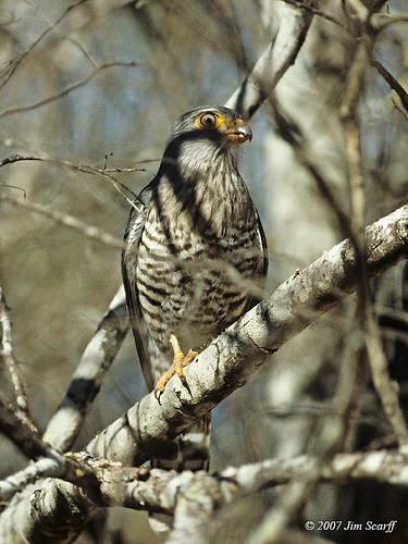 Falconiformes. sub Falconidae - sub fam Falconinae - gênero Falco - Página 3 843780878_bd11e78c0c