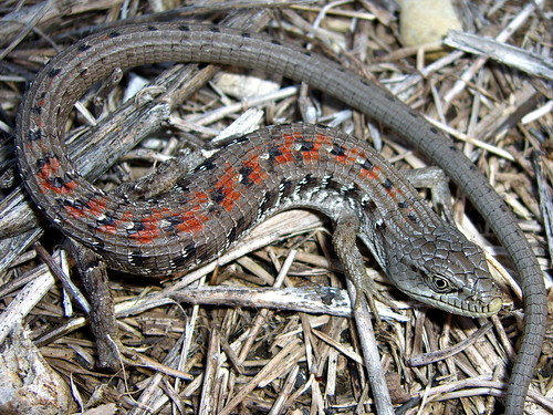 Hunt for the Southern Alligator Lizard:  Part 1 4659421980_fce300da77