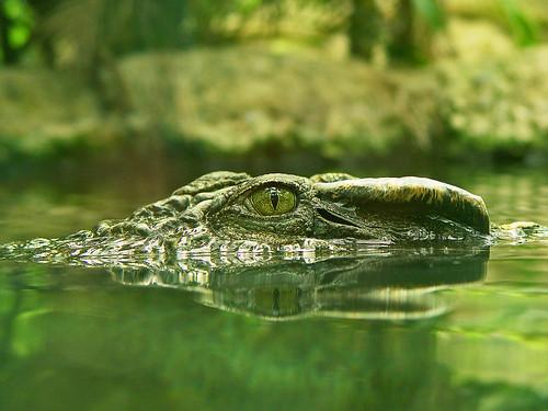 Krokodili 908814138_9fa713a687