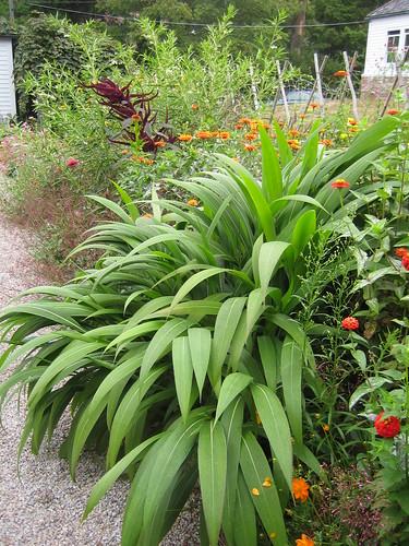 Setaria palmifolia - sétaire à feuilles de palmier 1372365847_395d343e74