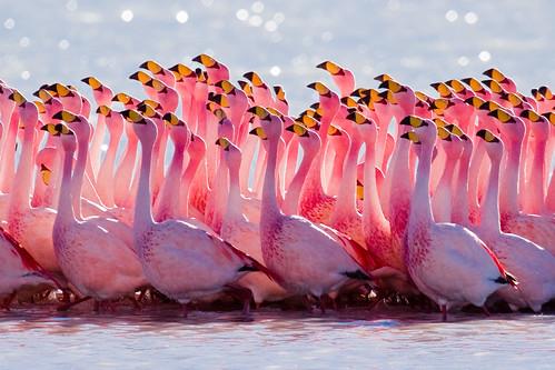 "Mengenal spesies si kaki jenjang ""Flamingo"" 1955192221_692cf1882d"