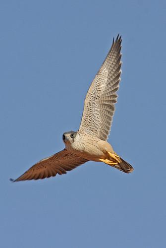 Falconiformes. sub Falconidae - sub fam Falconinae - gênero Falco - Página 2 2099170234_2f42d06ba1