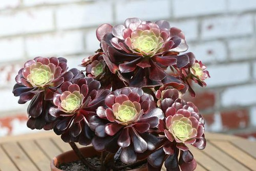 My Aeonium collection 2487465666_0e53b0393b