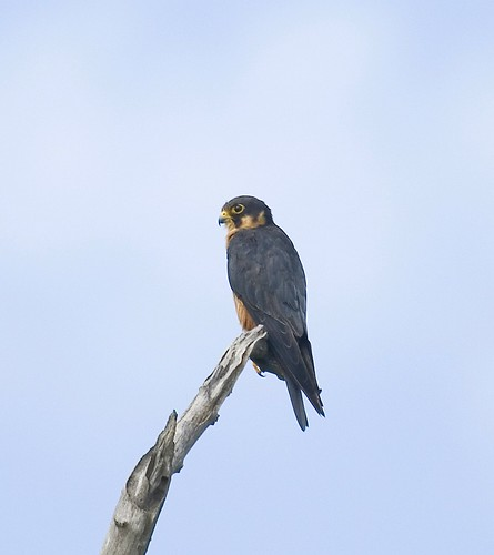 Falconiformes. sub Falconidae - sub fam Falconinae - gênero Falco 1638599821_4f23832404