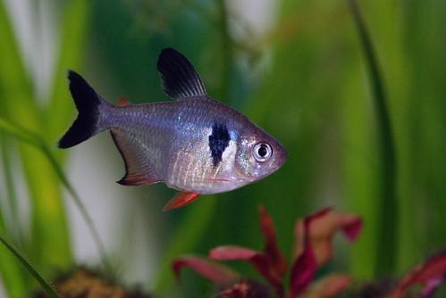 Tetra Black Phantom - Hyphessobrycon megalopterus 2171907489_6fa976946d