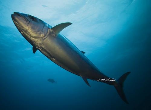 La Pesca del Atún Dientes de Perro / Dogtooth Tuna / Gymnosarda unicolor por José Manuel López Pinto  / Actualizado al 10/05/11 2540134501_13536ab630