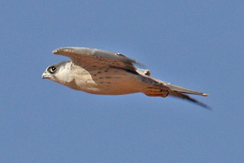 Falconiformes. sub Falconidae - sub fam Falconinae - gênero Falco - Página 2 2098383729_e25c4305f8