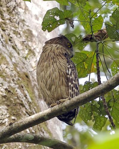 Strigformes: Famíla Strigidae- sub fam. Buteonidae. Género Ketupa (por vezes incluído em Bubo) 1537428314_453793f3b7