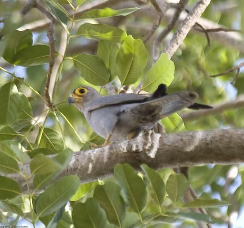 Falconiformes. sub Falconidae - sub fam Falconinae - gênero Falco 2202652370_3e201a2458