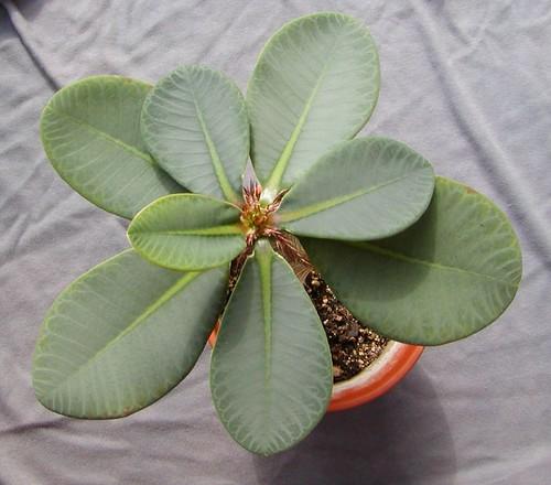Euphorbia neohumbertii [devinette] 1493207498_10832c7ab0