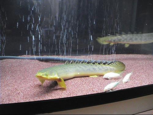 السمكة النـآدرة ..Polypterus Fish  2430317061_0d9c92f35f