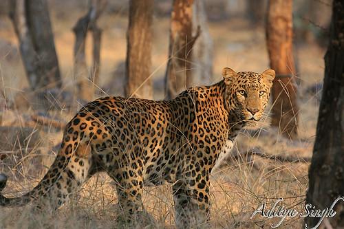 Espécies de Leopardos   2114879894_78c7143c6f