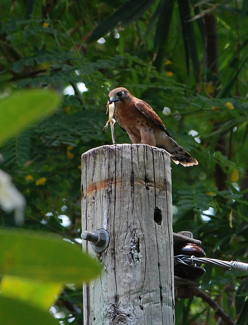 Falconiformes. sub Falconidae - sub fam Falconinae - gênero Falco 2106933342_da7232723b_o