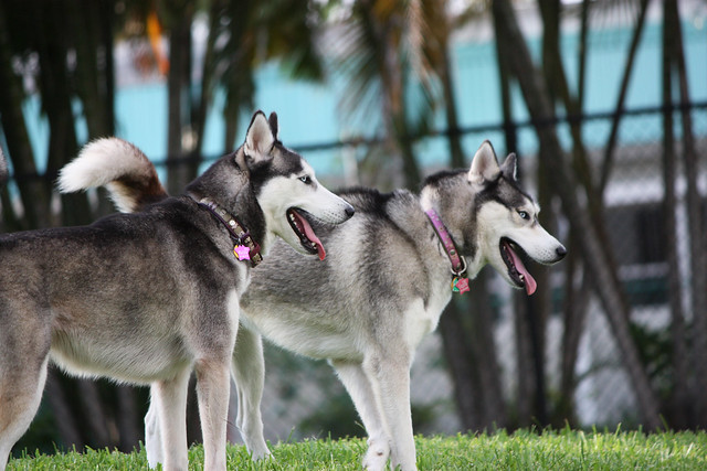 Florida Huskies and the NEW addition 9/5/13 - Page 3 5774152435_b48fb4eec3_z