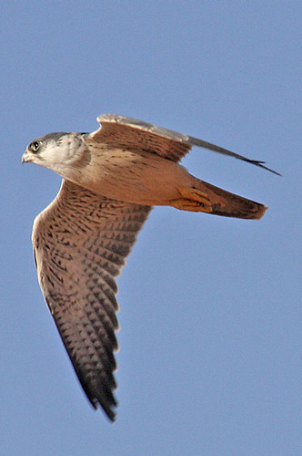 Falconiformes. sub Falconidae - sub fam Falconinae - gênero Falco - Página 2 2099165436_aa1ef1964a