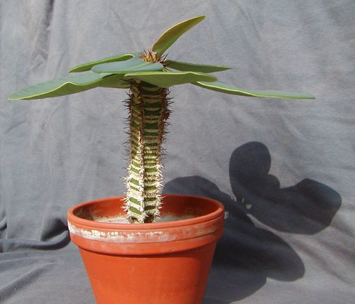 Euphorbia neohumbertii [devinette] 1493207902_3bf5e5ad77