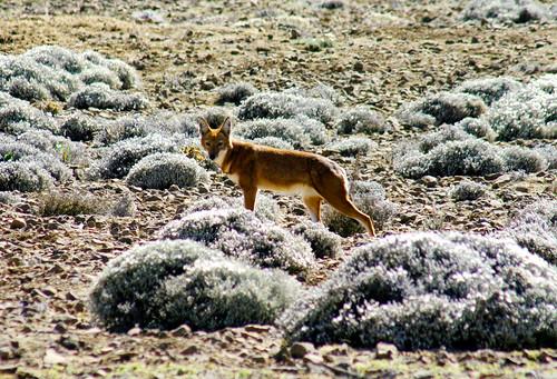 Carnívoros Família Canidae. Canis simensis- Lobo da Etiópia 4007222659_bb4768a933