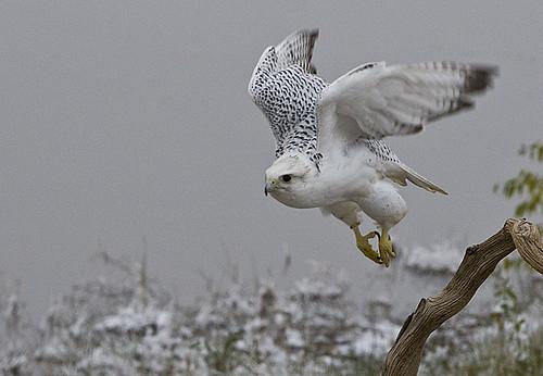 Falconiformes. sub Falconidae - sub fam Falconinae - gênero Falco - Página 3 4131225547_c3c8786129