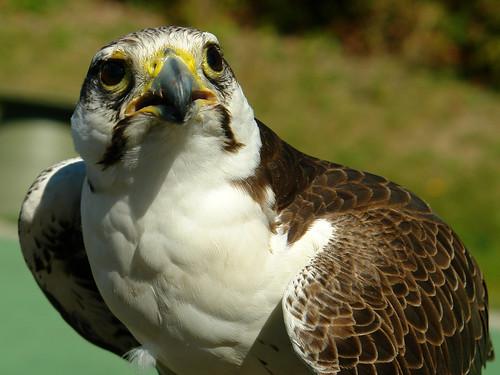 Falconiformes. sub Falconidae - sub fam Falconinae - gênero Falco - Página 2 3951257837_ce595bd61f